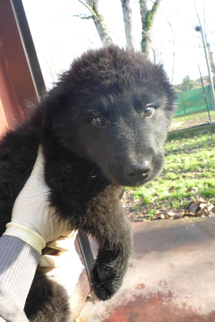 Bildertagebuch -  Loki:(noch) kleiner, schwarzer Teddy ... über andere ORGA ZUHAUSE GEFUNDEN! 28073671vx