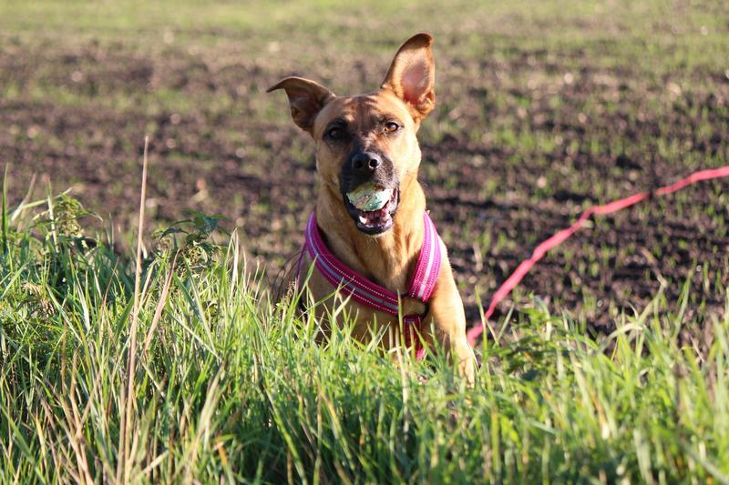Bildertagebuch - Lina II, ein hübsche Lady die gerne Bällchen spielt und eine hundeerfahrene aktive Familie sucht ...VERMITTELT! 28079755bg