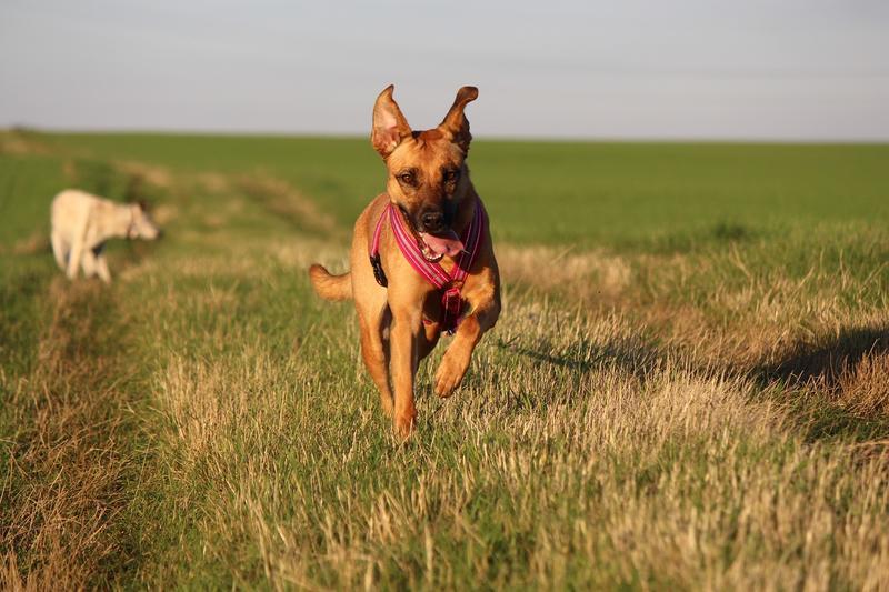 Bildertagebuch - Lina II, ein hübsche Lady die gerne Bällchen spielt und eine hundeerfahrene aktive Familie sucht ...VERMITTELT! 28079757rk