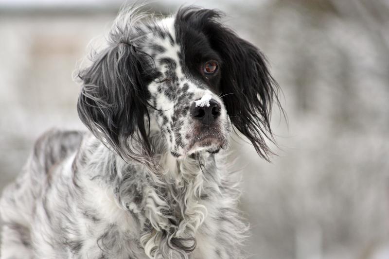 Bildertagebuch - Ginger lebt jetzt als Dauerpflegehund bei ihrer Pflegefamilie 28117247pv