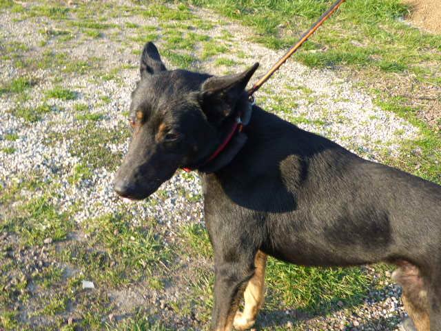 Bildertagebuch - Ciro: freundlicher und verträglicher Hund, im allerbestem Alter...Vermittlung über Procanalba... 28386297oq