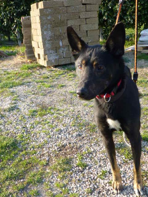 Bildertagebuch - Ciro: freundlicher und verträglicher Hund, im allerbestem Alter...Vermittlung über Procanalba... 28386301fs