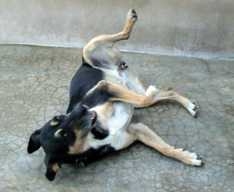 Bildertagebuch - Kenya: liebevolle und gehorsame Hundedame mit einem großen Herz wartet schon seit 6 Jahren...VERMITTELT! 28450242vl