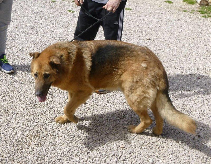 Bildertagebuch - Talca: entzückende, ältere Schäferhunddame sucht Liebe und Verständnis! 28657465tr