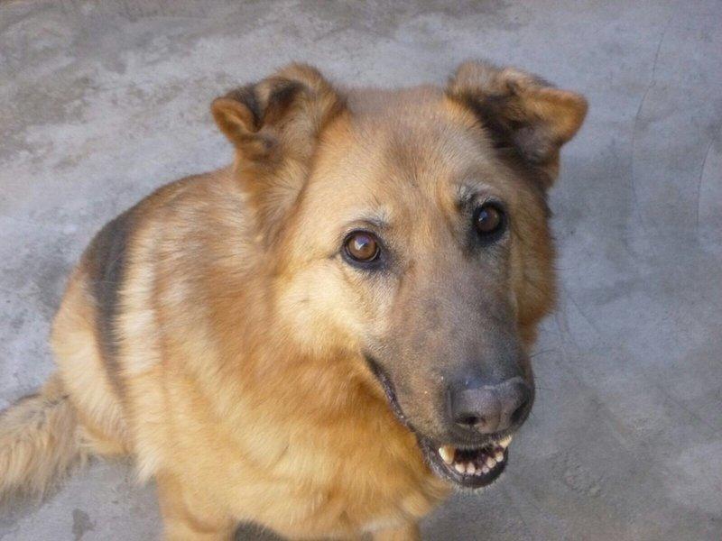 Bildertagebuch - Talca: entzückende, ältere Schäferhunddame sucht Liebe und Verständnis! 28657483cs