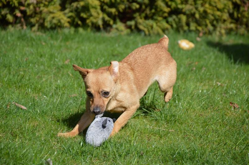 Bildertagebuch - Mia, süßes kleines Mäuschen wurde von der Straße gerettet ... - VERMITTELT! 28705967lo