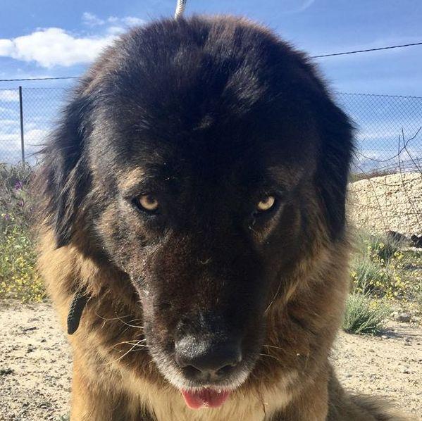 Bildertagebuch - Athena: eine Riesen-Bärin sucht Menschen die den Hirtenhunden verfallen...VERMITTELT! 28809357ep