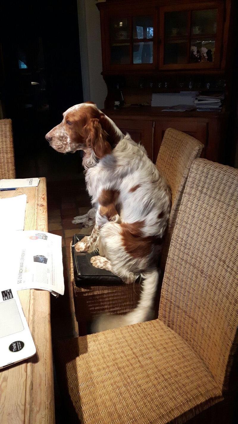 Bildertagebuch - Henry, ein liebesbedürftiger und verschmuster Traum von einem Setterbub ...muss sich leider wieder auf die Suche machen- VERMITTELT! 28853769cn