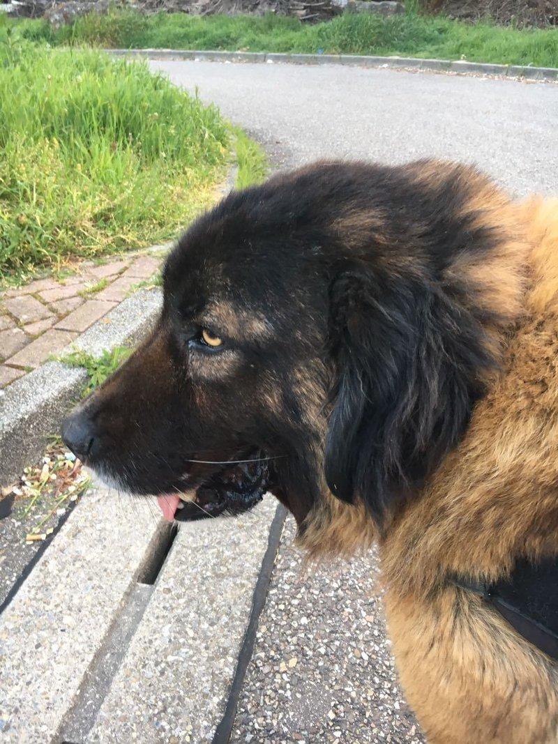Bildertagebuch - Athena: eine Riesen-Bärin sucht Menschen die den Hirtenhunden verfallen...VERMITTELT! 29045396jl