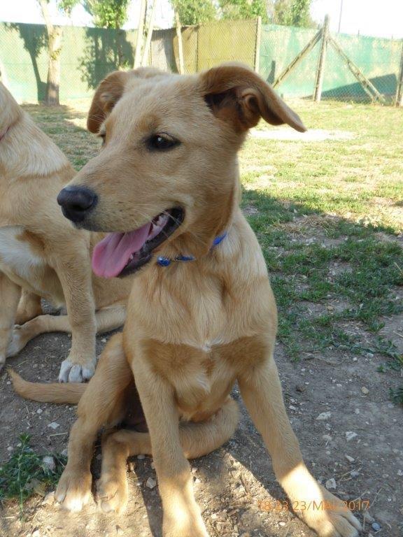 Bildertagebuch - Belle: junges Hunde- Fräulein wünscht eine eigene Familie...VERMITTELT! 29371392rk