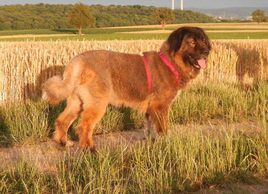 Bildertagebuch - Athena: eine Riesen-Bärin sucht Menschen die den Hirtenhunden verfallen...VERMITTELT! 29671171gr