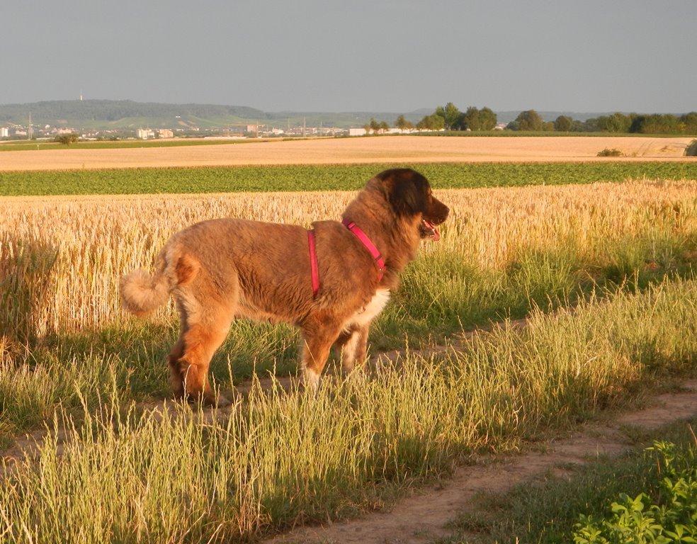 Bildertagebuch - Athena: eine Riesen-Bärin sucht Menschen die den Hirtenhunden verfallen...VERMITTELT! 29671172ij