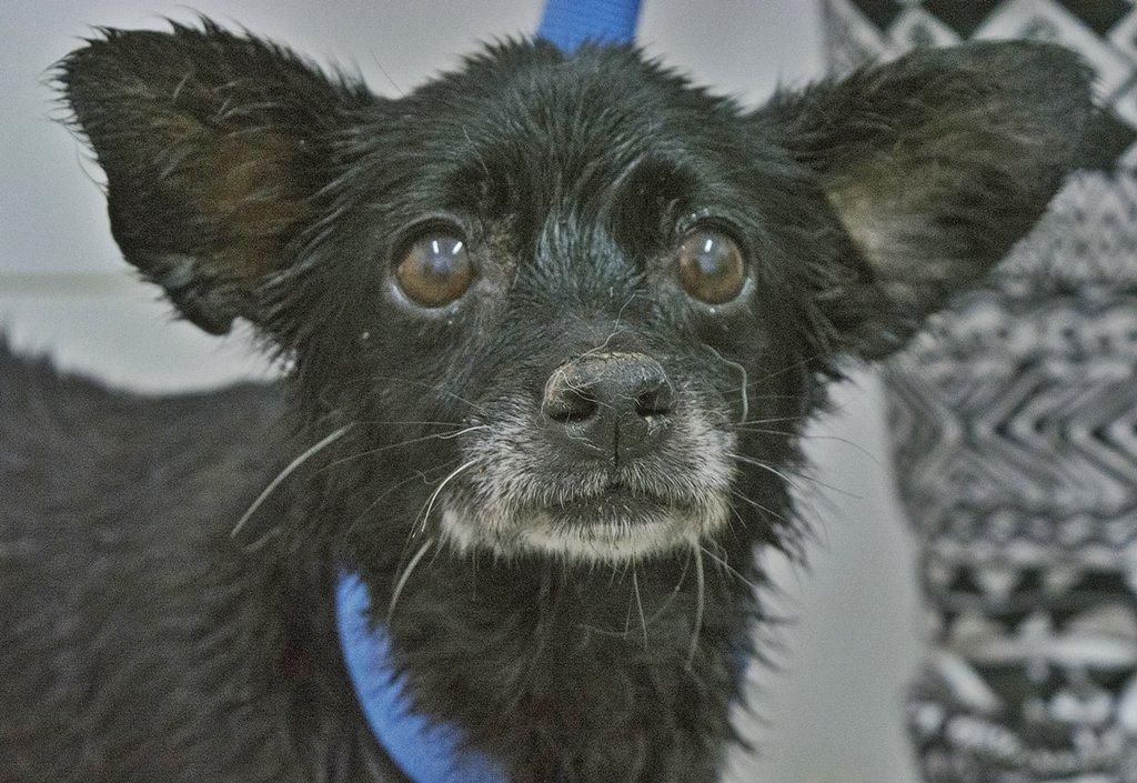 Bildertagebuch - Chipsa, die kleine Hundelady sollte mit knapp 7 Jahren schon sterben...VERMITTELT 29854000op