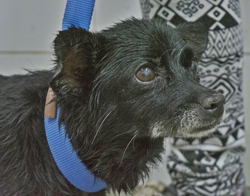 Bildertagebuch - Chipsa, die kleine Hundelady sollte mit knapp 7 Jahren schon sterben...VERMITTELT 29854002gk