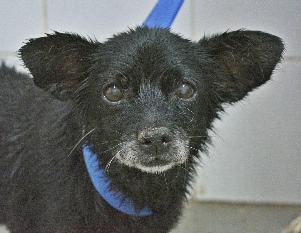 Bildertagebuch - Chipsa, die kleine Hundelady sollte mit knapp 7 Jahren schon sterben...VERMITTELT 29854006uz