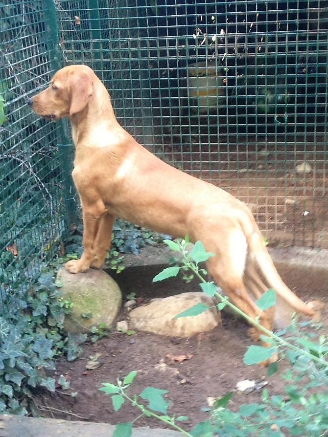 Bildertagebuch - AXEL, ein aufgewecktes Hundekind sucht ein Sofa... - VERMITTELT! 30274041iz