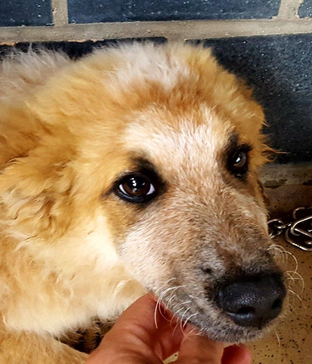 Bildertagebuch- HARRY, hübsches orange-weisses Hundekind sucht seine Menschen...wird über ANDEREN VEREIN VERMITTELT! 30274393mw