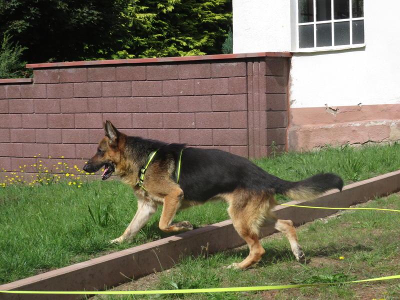 Bildertagebuch - Luke: ein wunderbarer Schäferhund sucht sein Sofa - VERMITTELT! 30344728zz