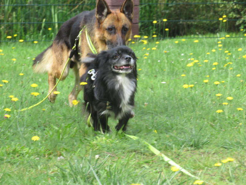 Bildertagebuch - Luke: ein wunderbarer Schäferhund sucht sein Sofa - VERMITTELT! 30344730po