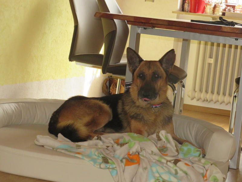 Bildertagebuch - Luke: ein wunderbarer Schäferhund sucht sein Sofa - VERMITTELT! 30344731cg
