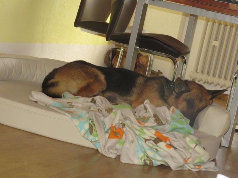 Bildertagebuch - Luke: ein wunderbarer Schäferhund sucht sein Sofa - VERMITTELT! 30344732rs