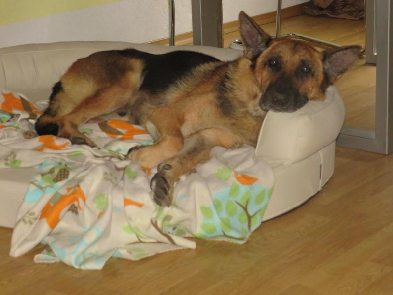 Bildertagebuch - Luke: ein wunderbarer Schäferhund sucht sein Sofa - VERMITTELT! 30344733wf