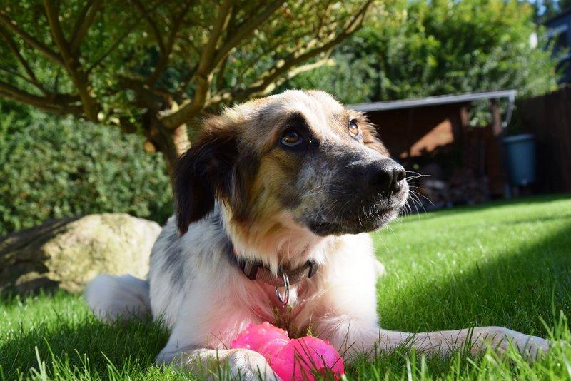 Bildertagebuch - Hanna: eine tolle junge Hundedame...VERMITTELT! 30378995jk