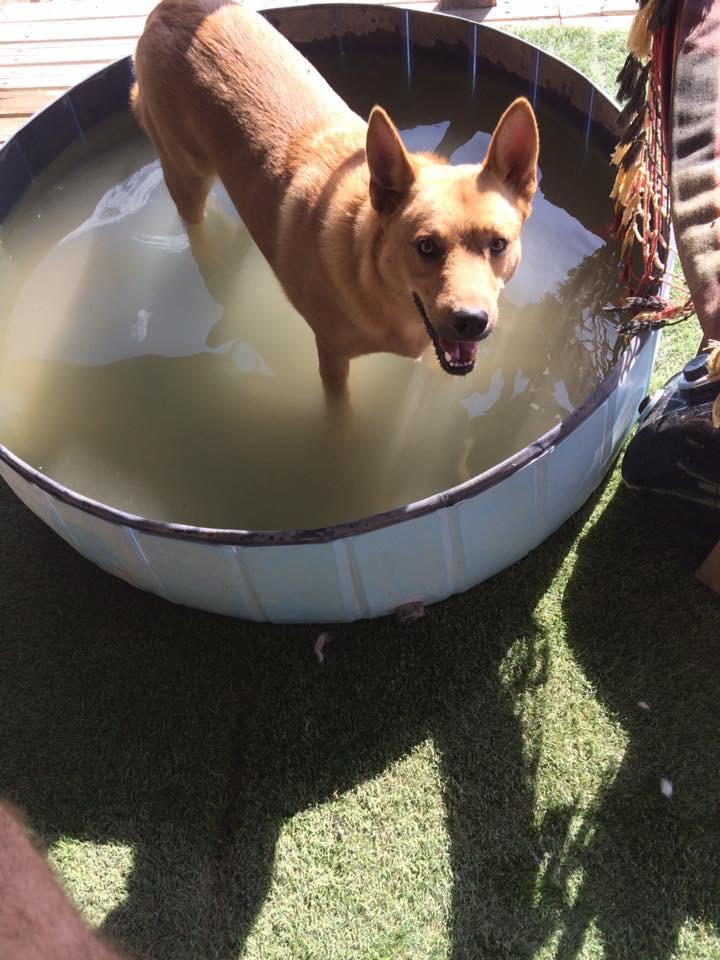 Bildertagebuch - Dingo, hübscher junger und verspielter Kerl ... Sie sind auf der Suche nach einem tollen Hundekumpel - VERMITTELT - 30455572zf