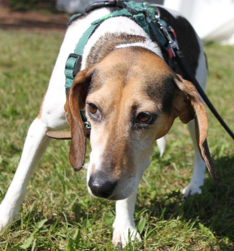 Bildertagebuch -  Nizza, jetzt Paula: Beagle- Dackel- Mix- Mädel mit ganz viel Charme- VERMITTELT! 30458890jc