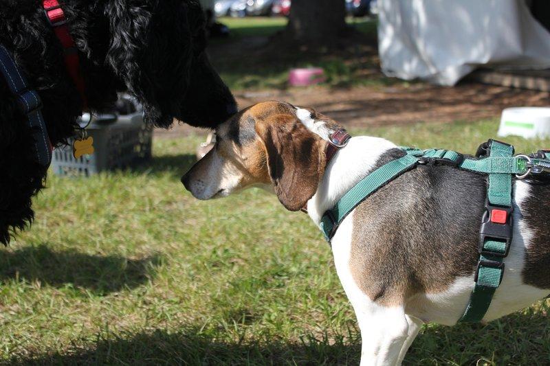 Bildertagebuch -  Nizza, jetzt Paula: Beagle- Dackel- Mix- Mädel mit ganz viel Charme- VERMITTELT! 30458893lo