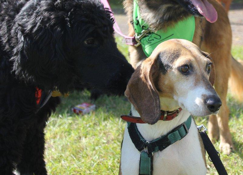 Bildertagebuch -  Nizza, jetzt Paula: Beagle- Dackel- Mix- Mädel mit ganz viel Charme- VERMITTELT! 30458900dj