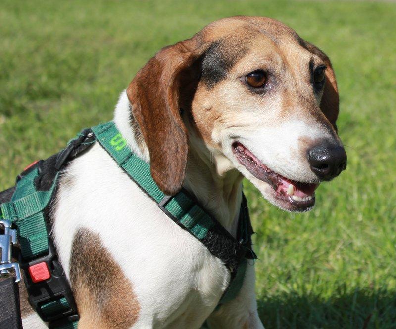Bildertagebuch -  Nizza, jetzt Paula: Beagle- Dackel- Mix- Mädel mit ganz viel Charme- VERMITTELT! 30458903ht