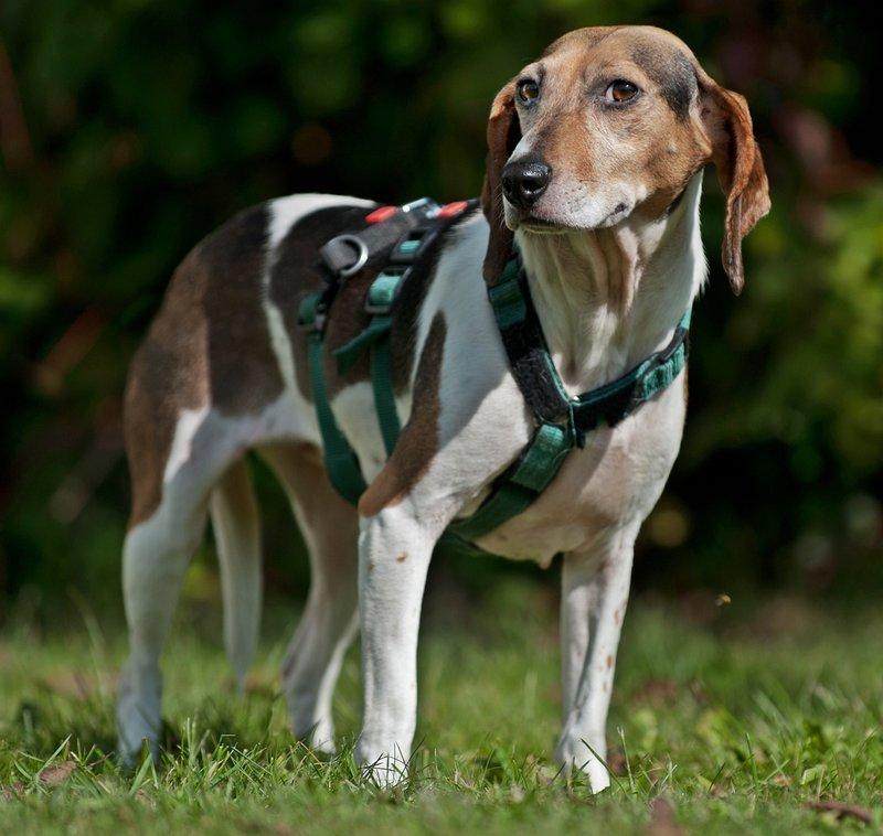 Bildertagebuch -  Nizza, jetzt Paula: Beagle- Dackel- Mix- Mädel mit ganz viel Charme- VERMITTELT! 30477282qa