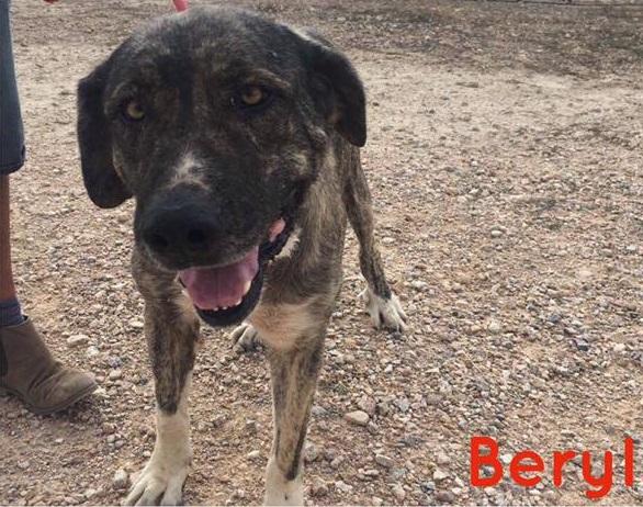 Bildertagebuch - Beryl: Größe Shetlandpony, nur noch ein Schatten ihrer Selbst - VERMITTELT! 30683046qo