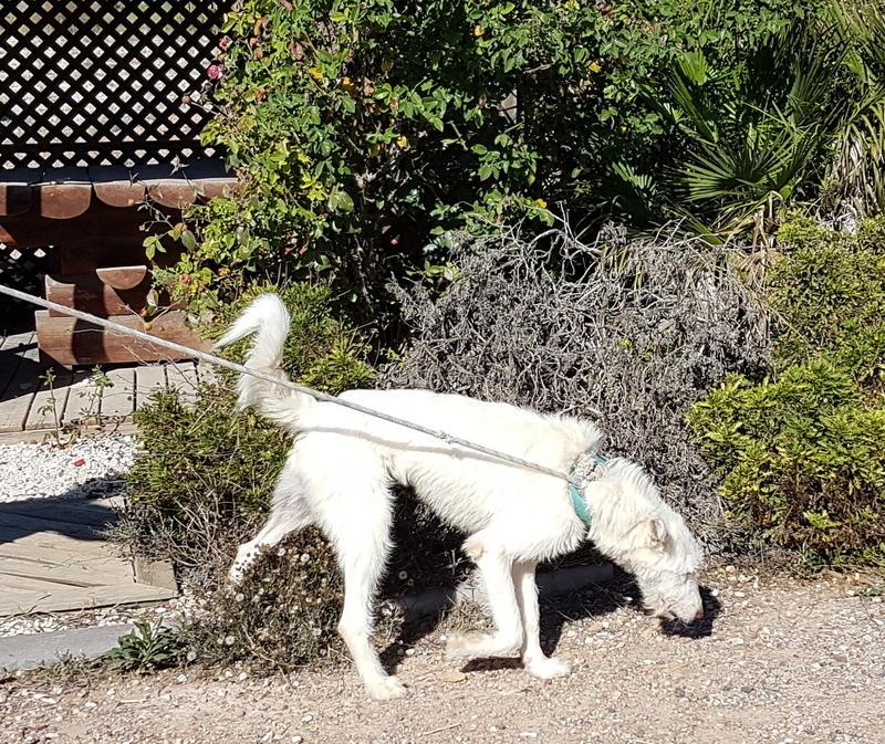 Bildertagebuch- Snowy, ein ganz bezauberndes schneeweißes Hunde-Mädchen die mehr und mehr abmagerte - VERMITTELT - 30818039al