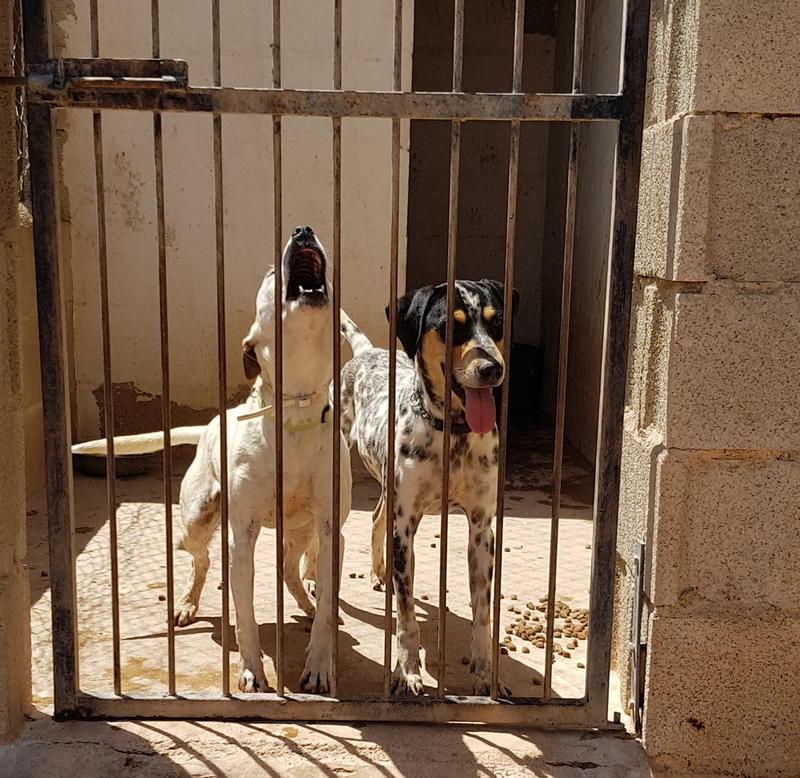 Bildertagebuch- Freddie, schönes schlaues Kerlchen der bestimmt ein richtiger Hundekumpel ist...- VERMITTELT - 30864674mo