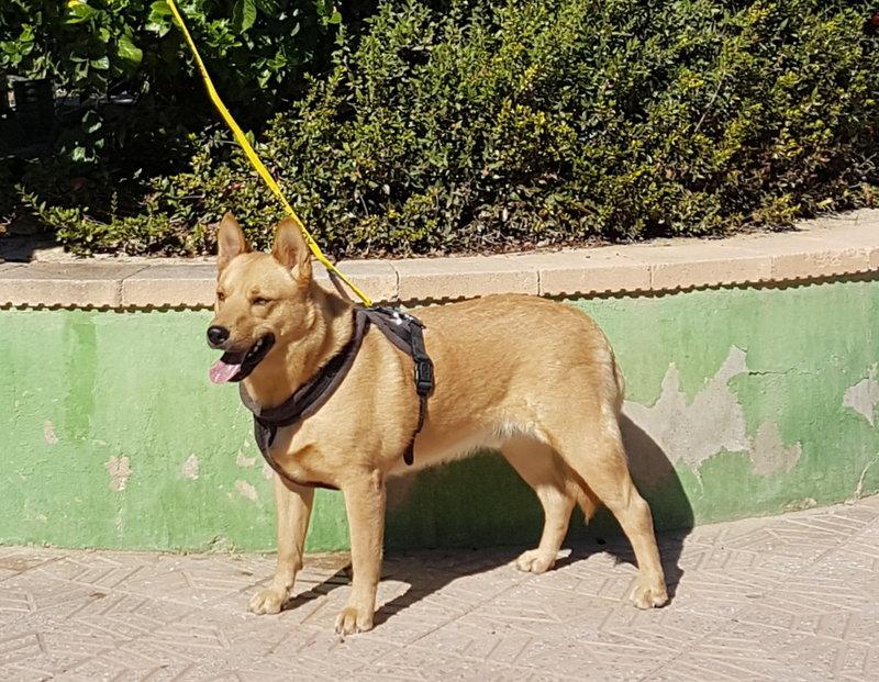 Bildertagebuch - Dingo, hübscher junger und verspielter Kerl ... Sie sind auf der Suche nach einem tollen Hundekumpel - VERMITTELT - 31002597wb
