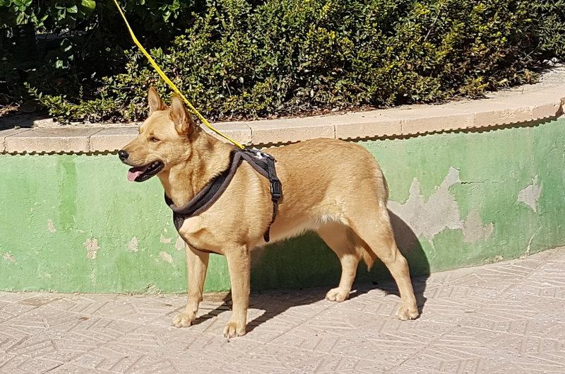 Bildertagebuch - Dingo, hübscher junger und verspielter Kerl ... Sie sind auf der Suche nach einem tollen Hundekumpel - VERMITTELT - 31002599js