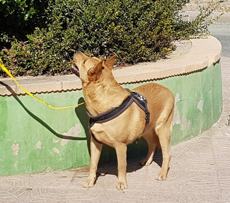 Bildertagebuch - Dingo, hübscher junger und verspielter Kerl ... Sie sind auf der Suche nach einem tollen Hundekumpel - VERMITTELT - 31002601cu