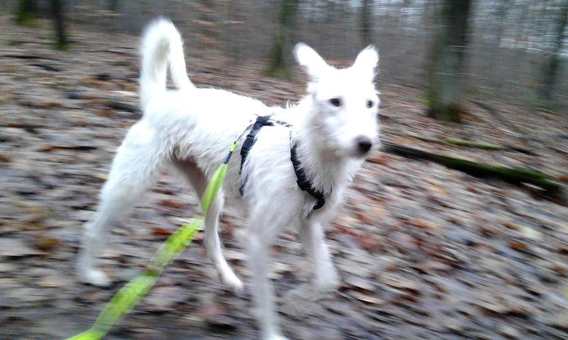 Bildertagebuch- Snowy, ein ganz bezauberndes schneeweißes Hunde-Mädchen die mehr und mehr abmagerte - VERMITTELT - 31098464om