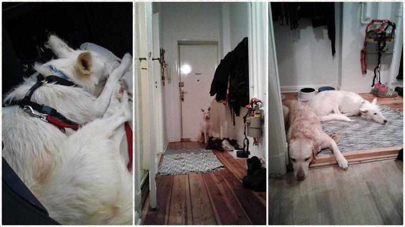 Bildertagebuch- Snowy, ein ganz bezauberndes schneeweißes Hunde-Mädchen die mehr und mehr abmagerte - VERMITTELT - 31098470gj