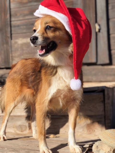 Bildertagebuch -  Jade:eine zuckersüße, kleine Weihnachtselfe hofft...VERMITTELT!  31175448vw
