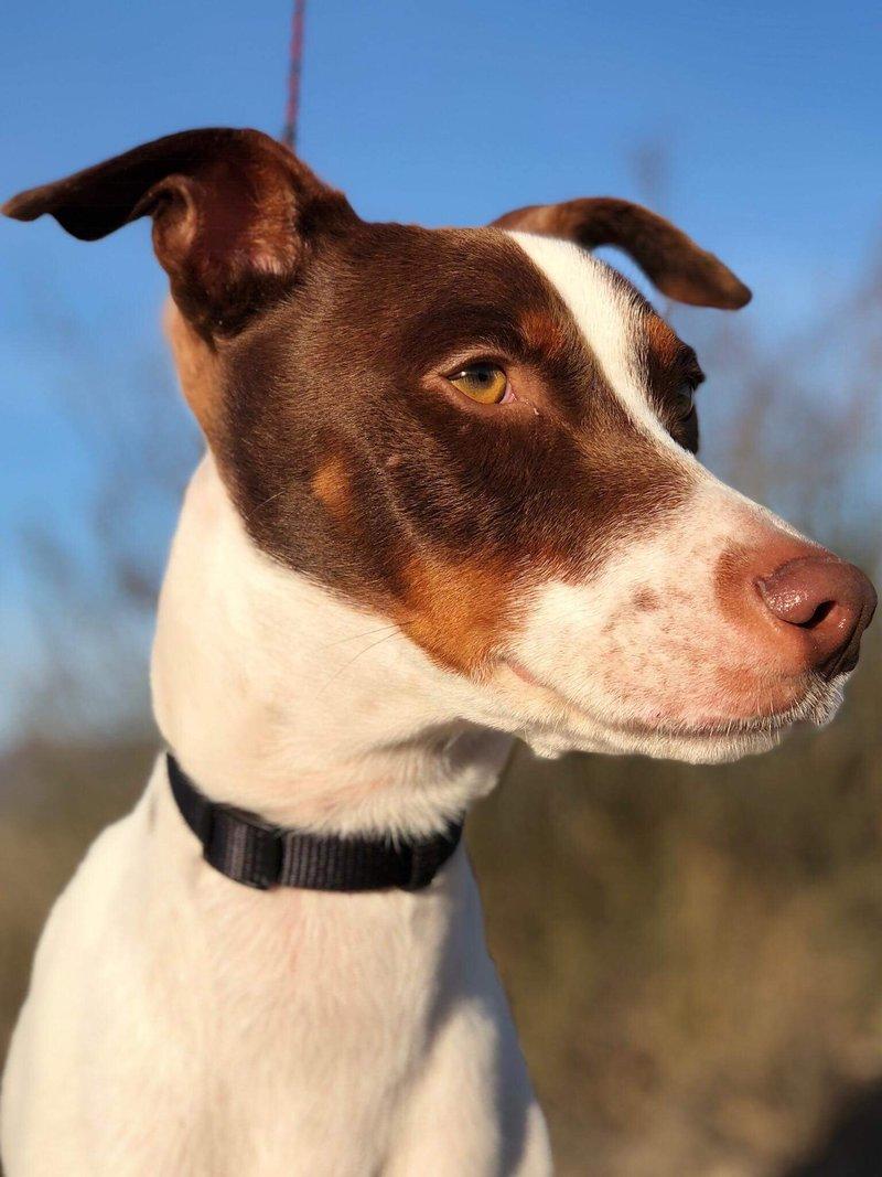 Bildertagebuch  - Kylo: ein bildschöner, eleganter, und cleverer Hund für aktive Menschen! - VERMITTELT- 31341179sa