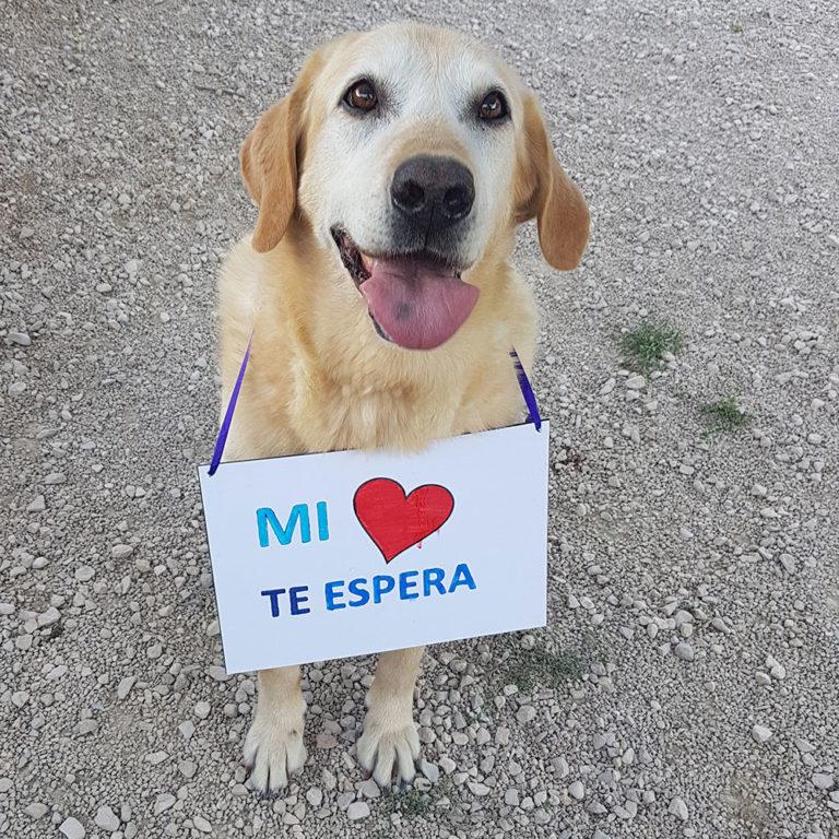 Bildertagebuch - Hook, liebebedürftiger Labradorsenior wünscht sich ein Verwöhnplätzchen, Zuhause in Spanien gefunden! 31380608iv