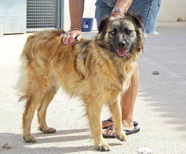 Bildertagebuch - SIRIUS, intelligenter hübscher Hundestern möchte so gerne endlich ein Zuhause - VERMITTELT - 31454074gw