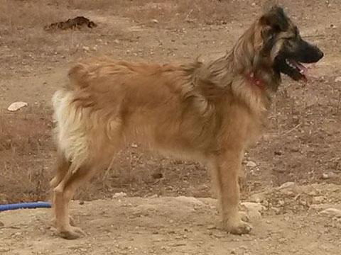 Bildertagebuch - SIRIUS, intelligenter hübscher Hundestern möchte so gerne endlich ein Zuhause - VERMITTELT - 31454077ke