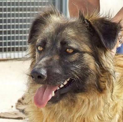 Bildertagebuch - SIRIUS, intelligenter hübscher Hundestern möchte so gerne endlich ein Zuhause - VERMITTELT - 31454078ja