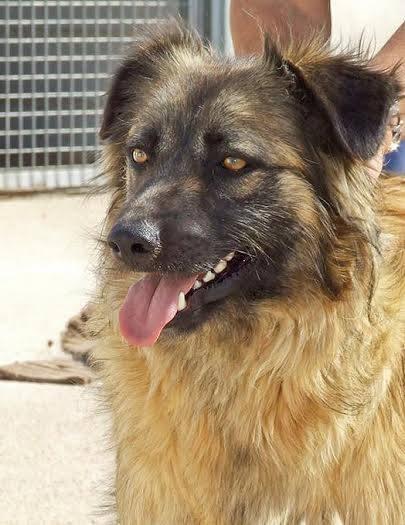 Bildertagebuch - SIRIUS, intelligenter hübscher Hundestern möchte so gerne endlich ein Zuhause - VERMITTELT - 31454079op