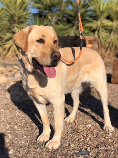 Bildertagebuch - Dave, wunderschöner Labrador sucht sein Zuhause - VERMITTELT! 31625148ny