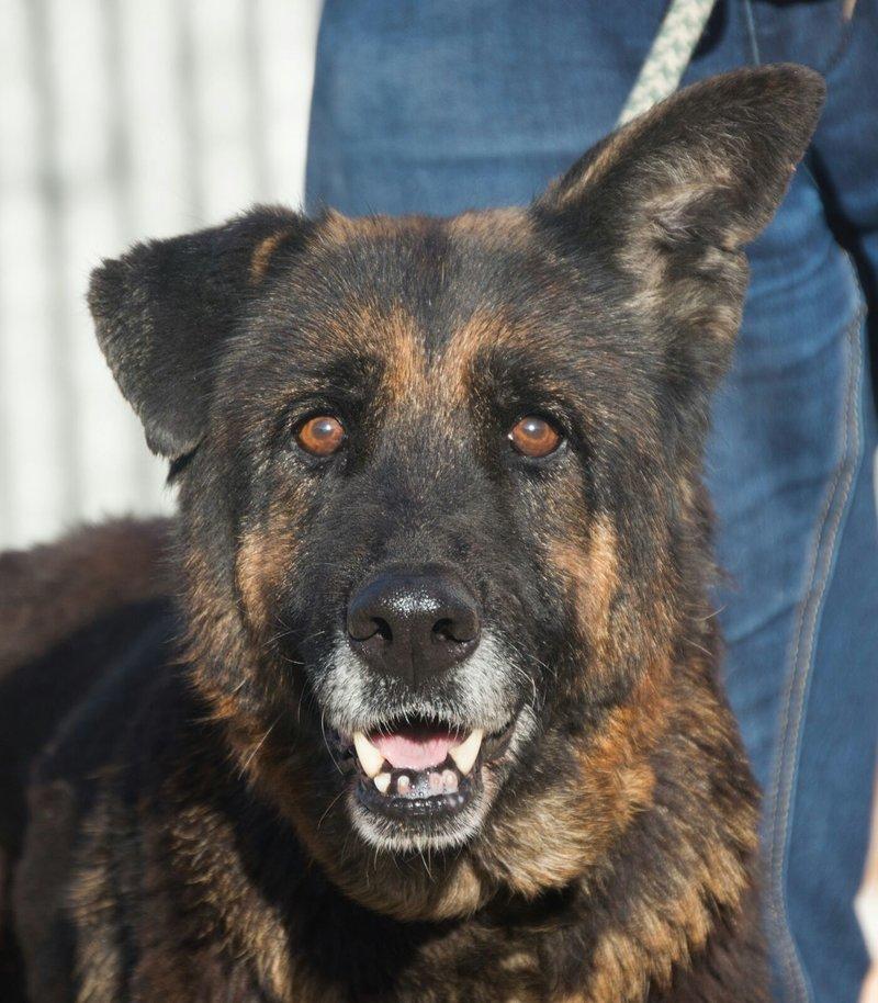 Bildertagebuch - ARABELLA, ältere Schäferhund-Lady sitzt seit 9 Jahren im Zwinger einer Perrera... - VERMITTELT! 31690594rh
